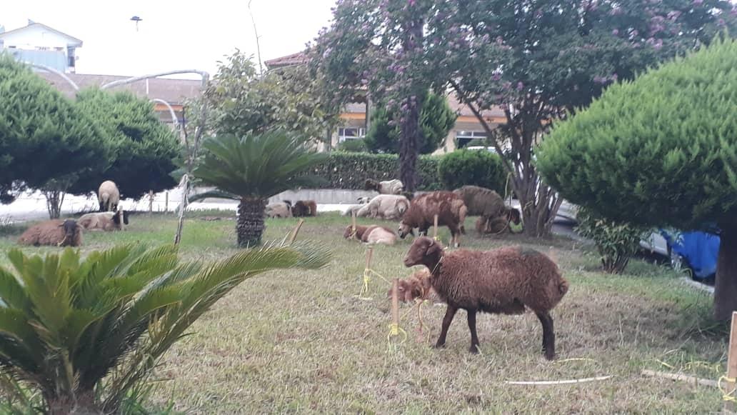 ذبح گوسفند قربانی به مناسبت عید سعید قربان